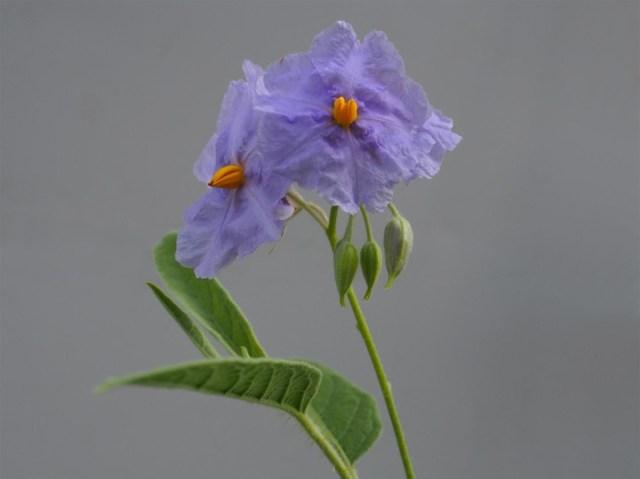 Image: Solanum watneyi