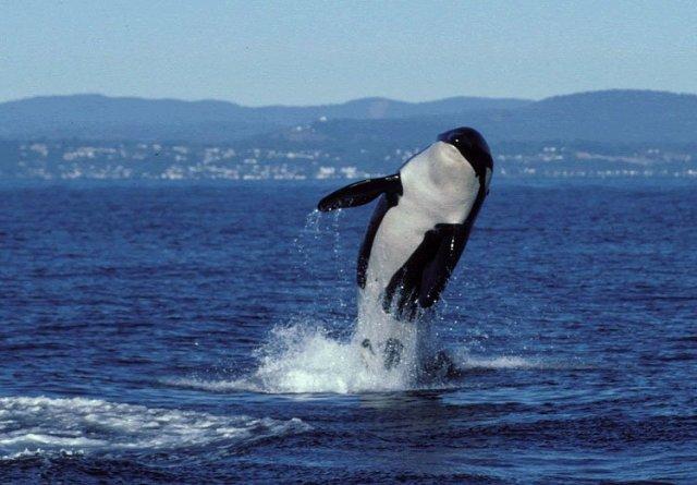 Granny the orca