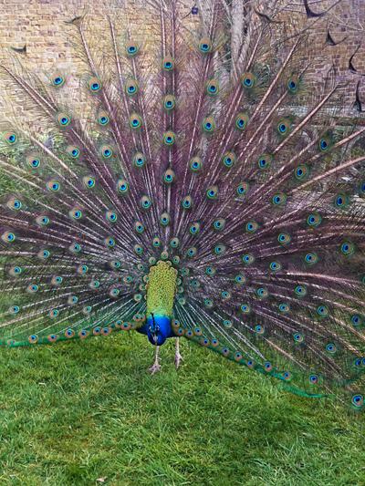 Påfågeln visade upp sig så fint!