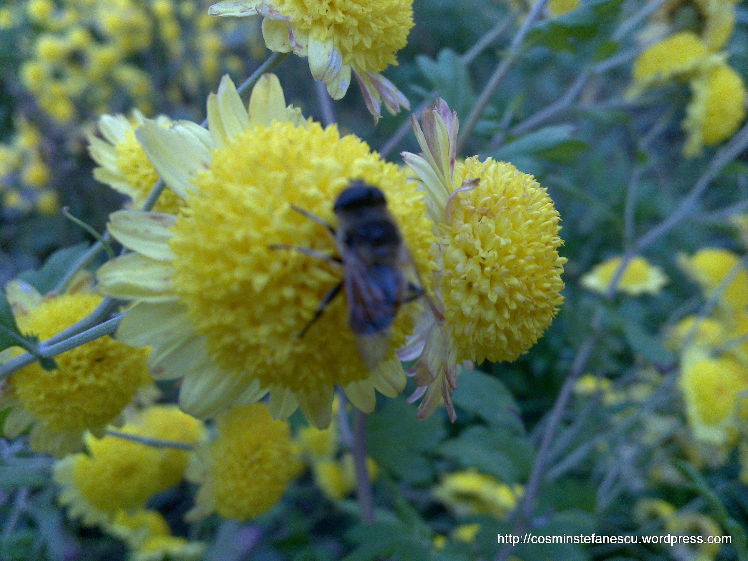 Flori galbene și un bondar (bombus terestris)