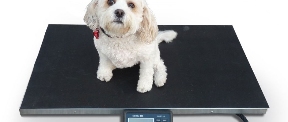 Maltese Dog on Weight Scale