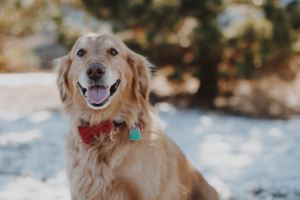 Healthy Golden Retriever showing the health benefits of walking your dog - Cosmodoggyland.com