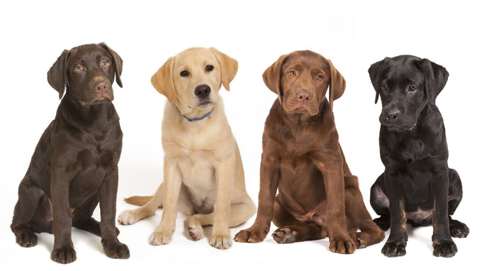 Four Different Colored Labrador Dogs