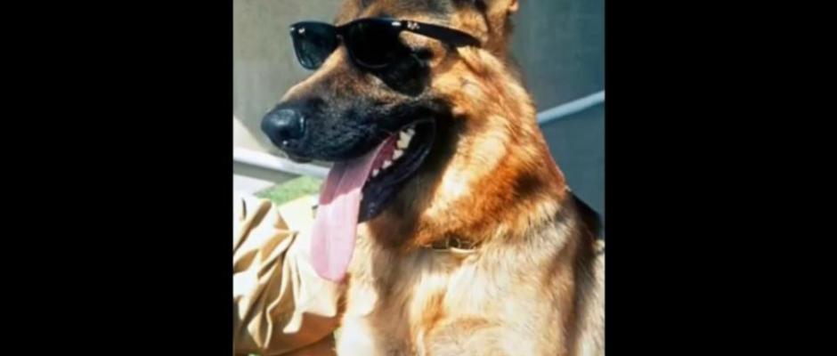 Gunter IV World's Richest Millionaire Dogs German Shepherd