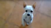 Chihuahua Bailando Flamenco