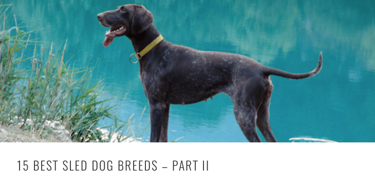 best sled breeds 2 HEADER