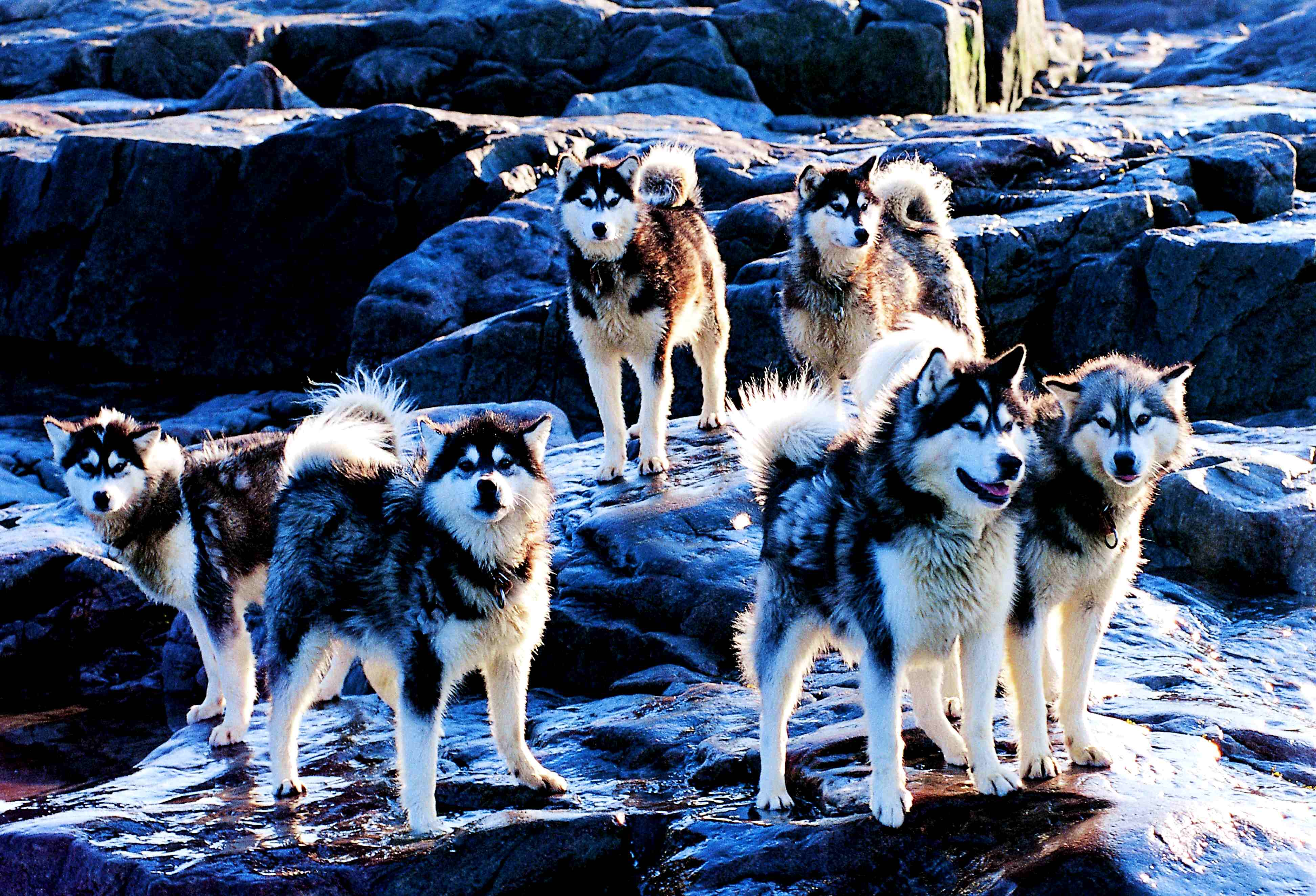 CANADIAN INUIT DOG:: HUSKIES GROUP Huskies_2000-08-24