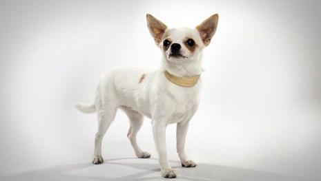 Chihuahua animalplanet.com