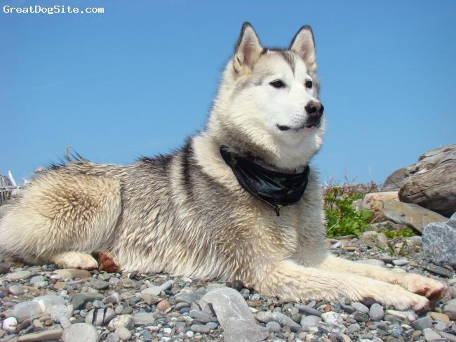 Labrador Husky-watermarked-1260017153