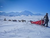 Sled Dogs Pulling Musher