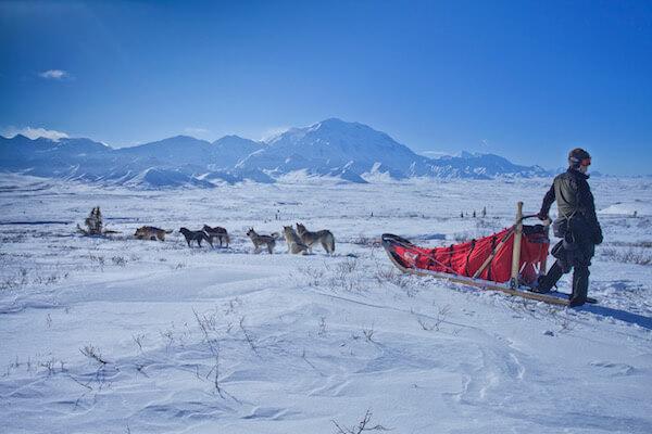 Perros de trineo tirando al musher
