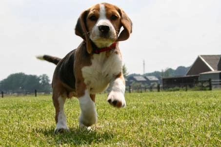 www.beagleoldengaerde.nl
