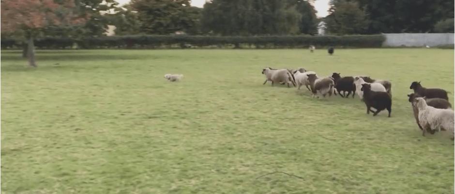 worst sheep dog ever. Fun