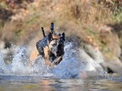 Military dogs in action