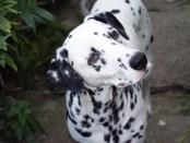 dalmatian dog. Allergy. Atopic. Dalmata, alergias