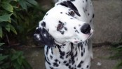 dalmatian dog. Allergy. Atopic. Dalmata, alergias