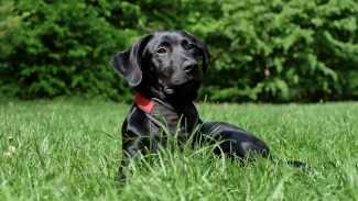 Labrador Retriever- Allergic dogs-Atopic. Alergia