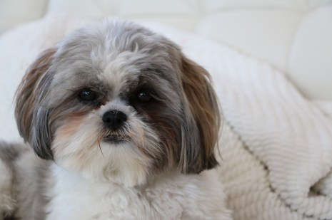 shih tzu Allergy, Atopic.. Alergia. Health