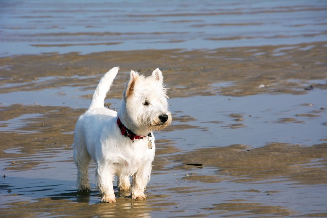 west highland white Terrier. Allergy. Atopic.. Alergia. Health