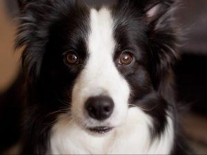 Border Collie Dog - Cosmodoggyland