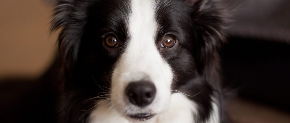 Border Collie Dog - Cosmodoggyland