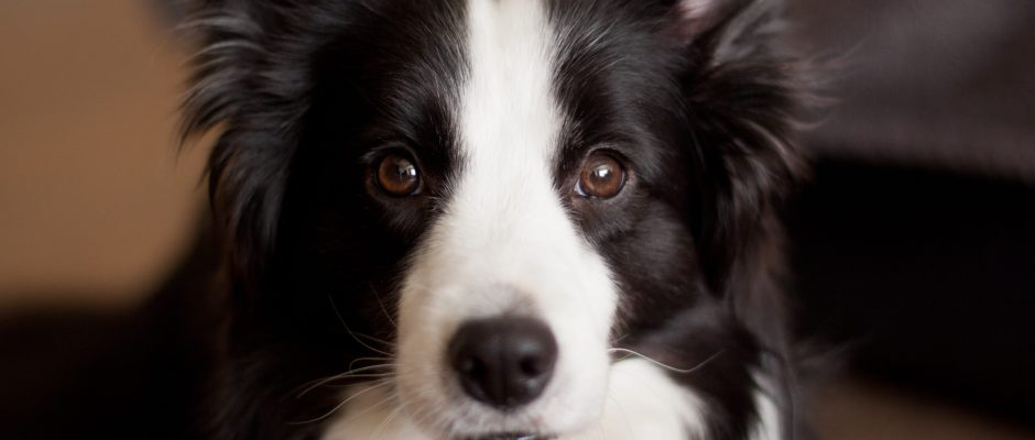 Chien Border Collie - Cosmodoggyland
