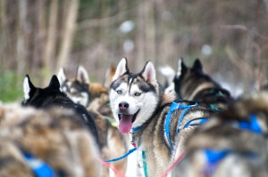 Siberian husky sled dog smiling - Cosmodoggyland Interview Series