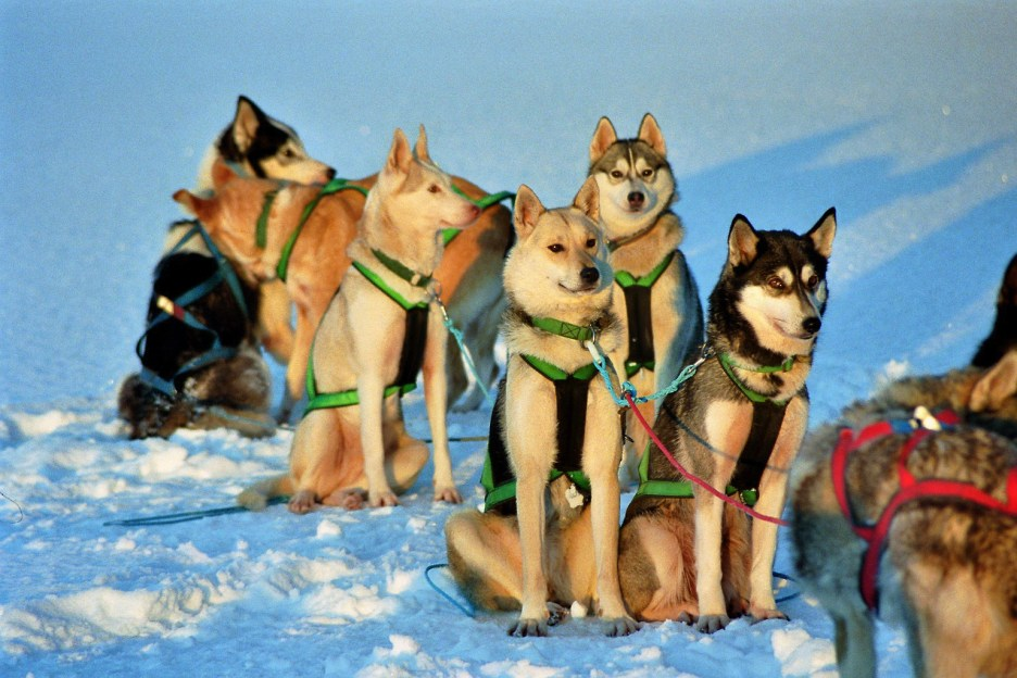 Sled dog team of Siberian huskies posing for a picture - Cosmodoggyland Interview Series