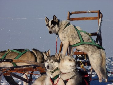 Sleds dogs relaxing on the snow - Cosmodoggyland Interview Series