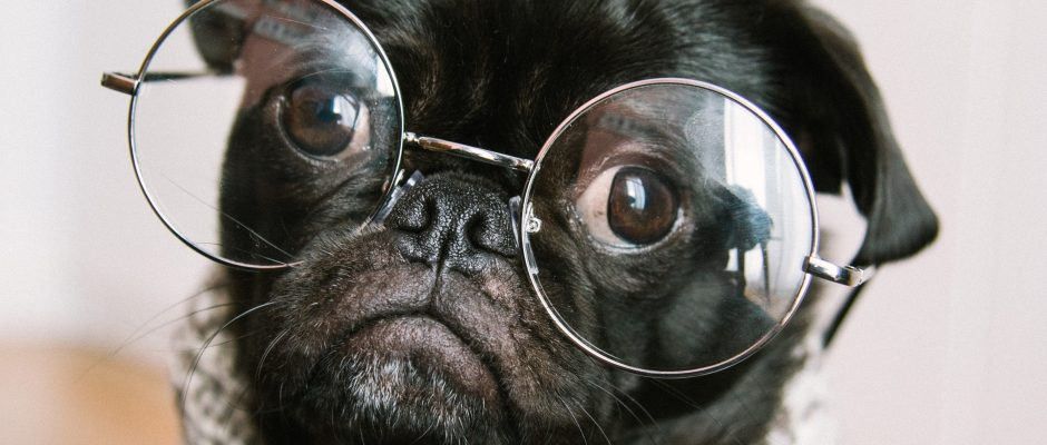 Old pug wearing glasses and scarf