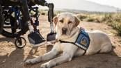 Service dog with bilateral leg amputee veteran
