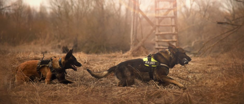German Shepherd Dogs Running - K-9 Unit