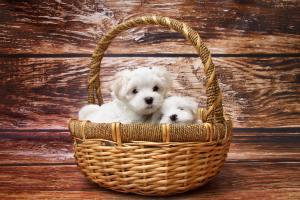 Adorable Maltese puppies in basket