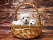 Adorable Maltese puppies in basket