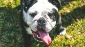Bulldog smiling with tongue out