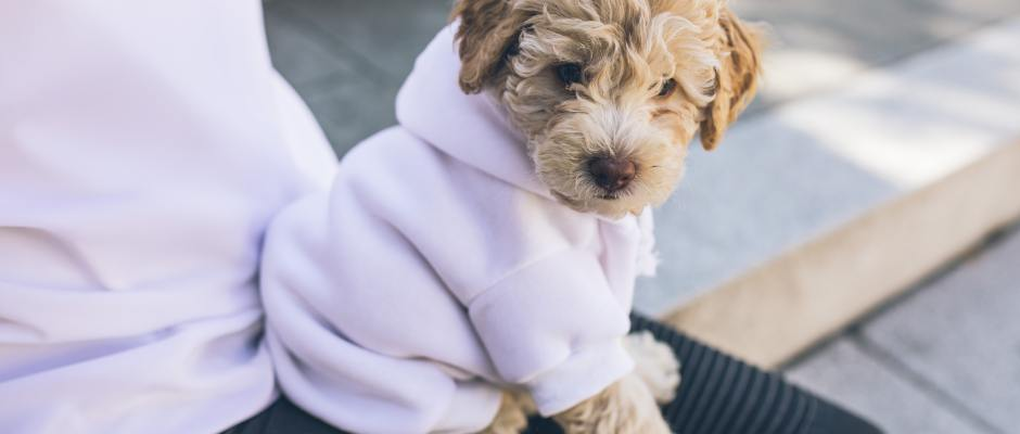 Dog with white hoodie