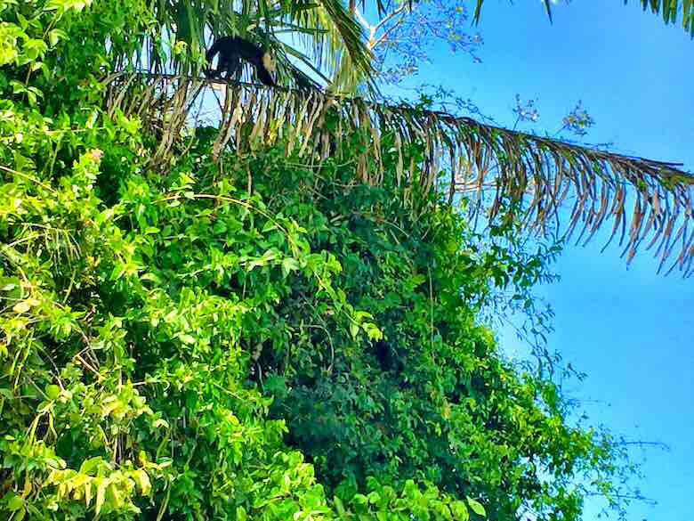 Howler monkey climbing a palm branch in the rainforest