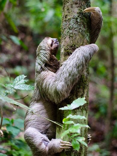 Sloth climbing a tree in the rainforest