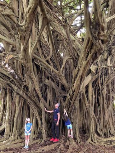 Giant banyan tree next to Rainbow falls in Hilo