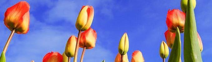 Tulip fields of the Netherlands: Keukenhof Gardens and beyond