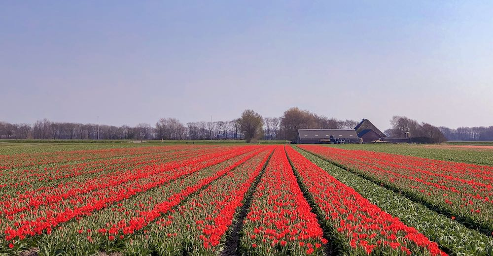 Bright red tulip fields of the Netherlands