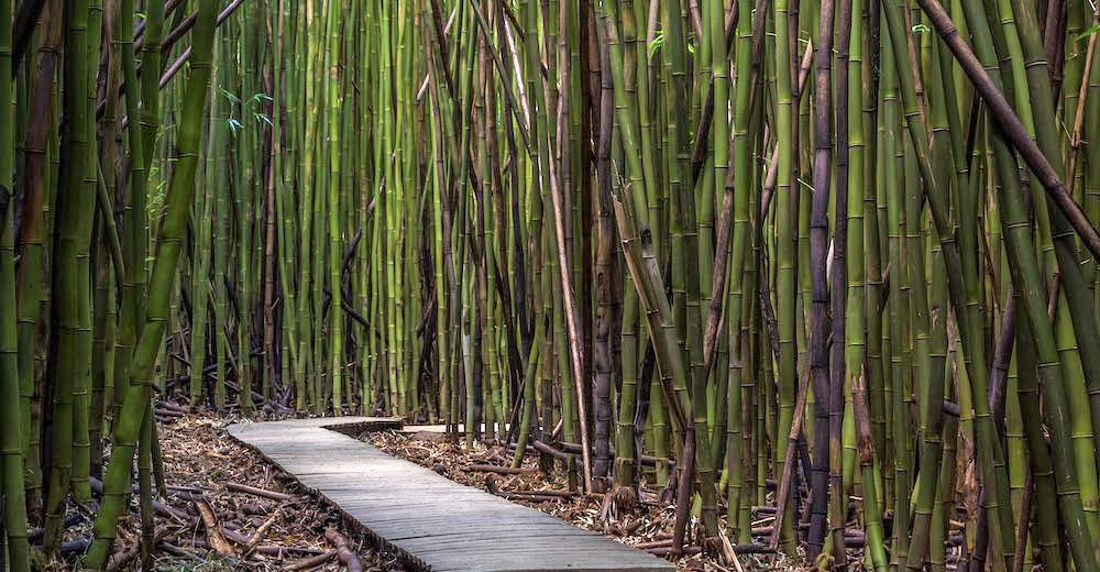 The bamboo forest of the Pipiwai Trail, one of the most popular hikes on Maui