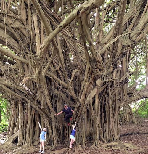 Giant banyan tree near Rainbow Falls on Hawaii island