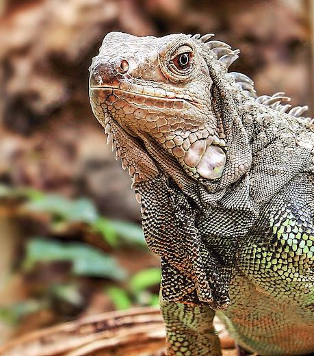 Iguana at the Punta Calebra Nature Center, a Panama city must see on the Amador Causeway