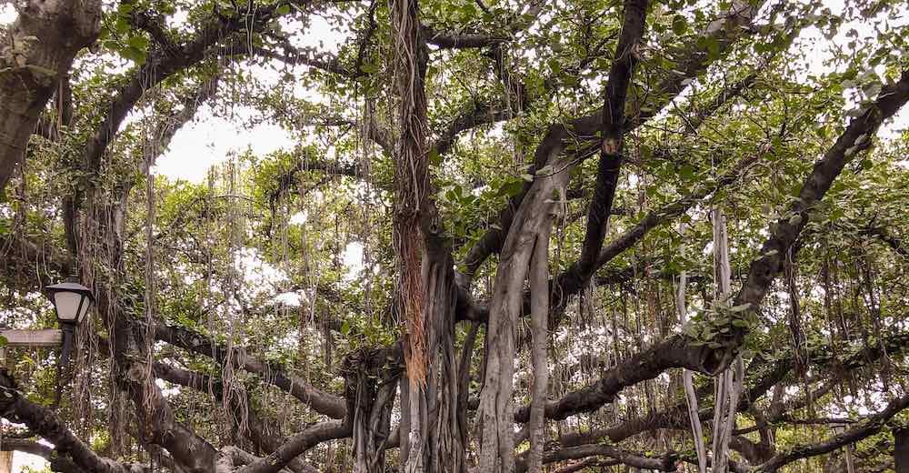 Banyan tree in Maui's historic town of Lahaina