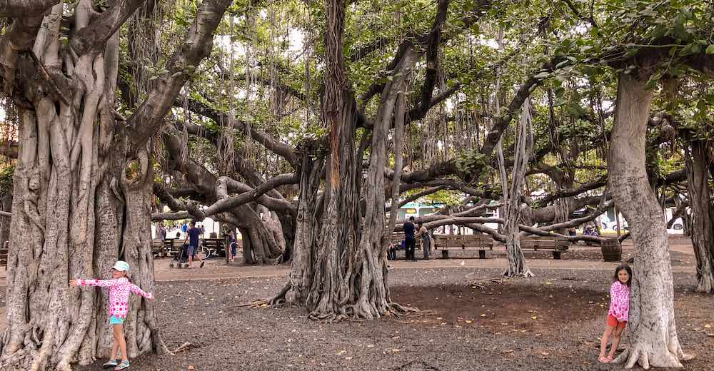 Two girls hugging the trunks of the banyan tree on Maui