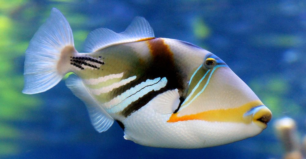One of the long Hawaii words is that for triggerfish, the state fish: Humuhumunukunukuapua'a