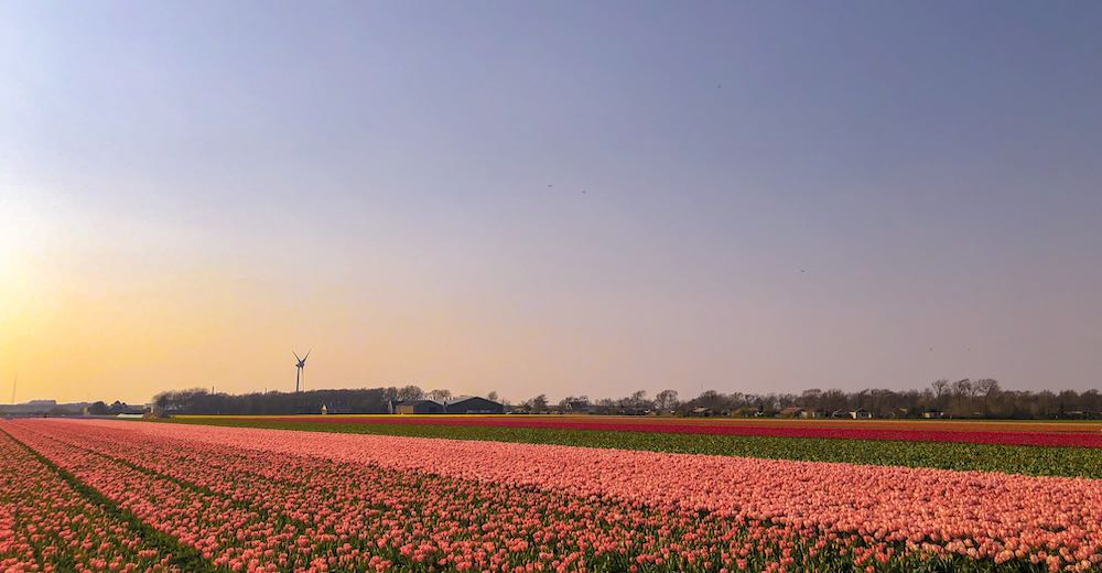 Netherlands tulip fields during golden hour