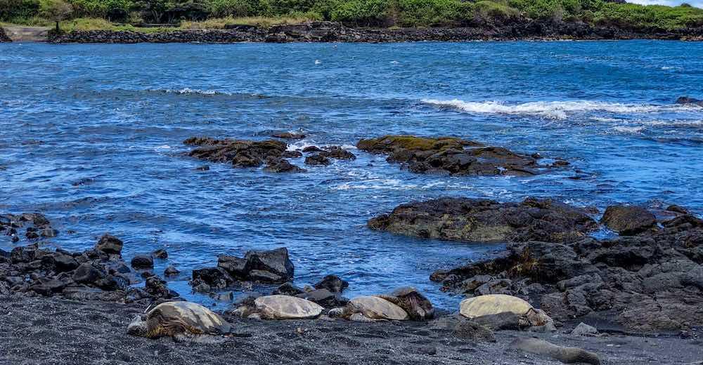 Turtles basking in the sun on a Hawaii Big Island black sand beach