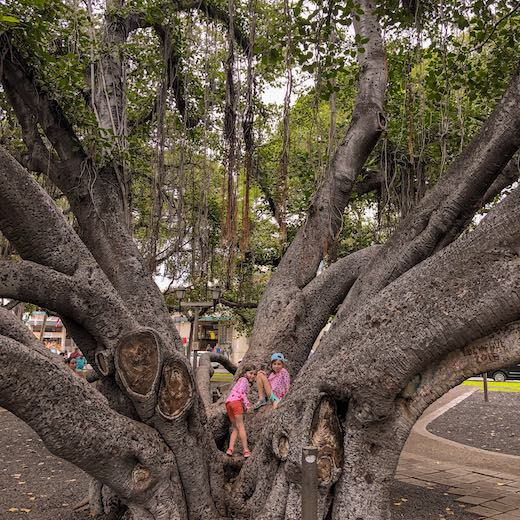 Climbing the banyan in Lahaina is one of our favorite things to do on Maui with kids